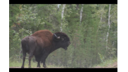 Threatened Wood Bison
