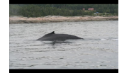 Blue Whales in the Saint-Laurent