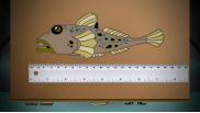 Invasive Species: What is a Round Goby?