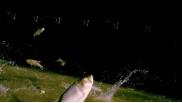 David Suzuki narrates scary film on invading species the Asian carp!